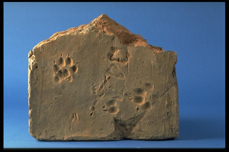 A tile showing an animal footprint, excavated at Silchester.
