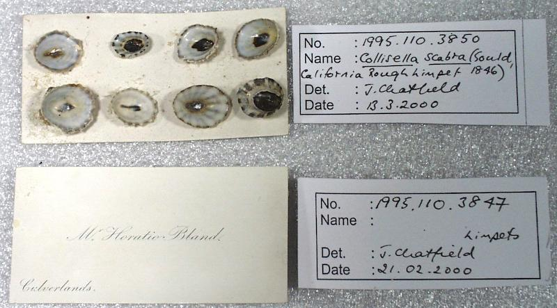 Horatio Bland's visiting card used as a mount for limpet shells