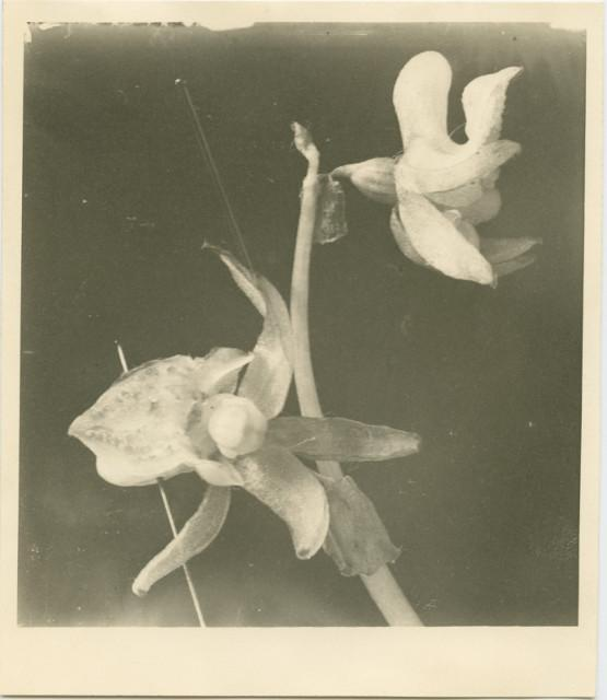 ghost orchid found by Vera Paul