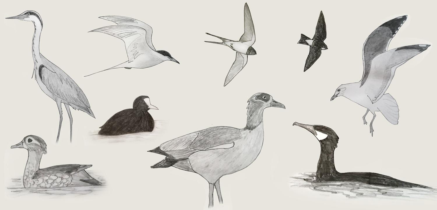 birds of Reading's rivers