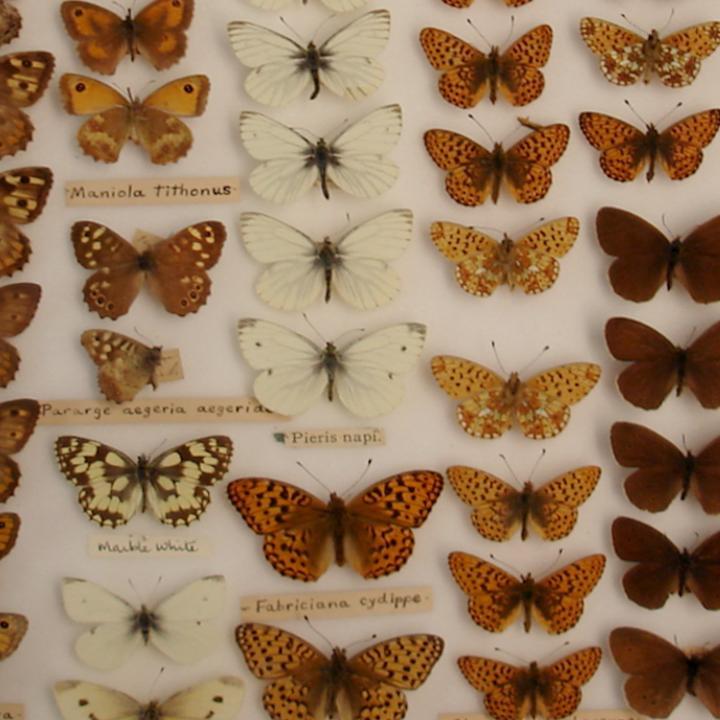 Butterflies in a display case